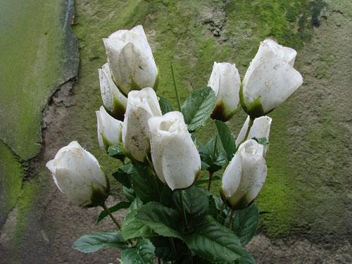 Friedhofsgärtnerei - weiße Rosen